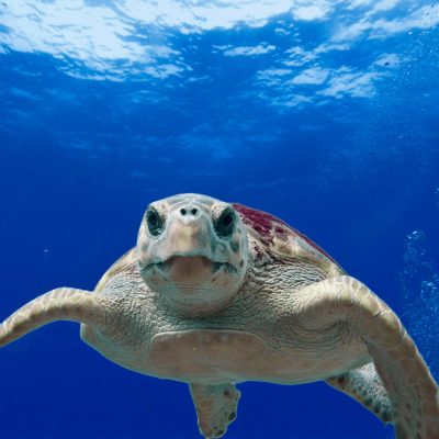 caretta loggerhead turtle dalyan sq 900
